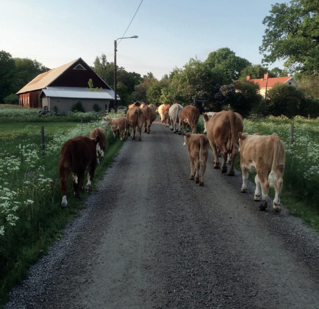 Uranäskor på byväg. Foto: Solveig Nilsson.